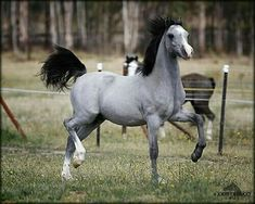 Silver Buckskin!