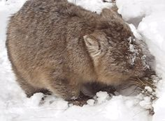 But this 40kg (90 pounds) wombat does not care about a little bit of snow. | 13 Australian Animals Freaking Out In The Snow