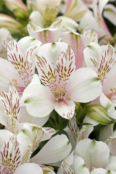 White Alstroemeria. Alstroemeria are also known as the Peruvian Lily and blooms in late spring & early summer. They come in a grand variety of colors and symbolize friendship, loyalty, and prosperity.