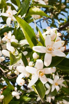 Orange Blossom: Extracted from the flowers of the bitter orange, Neroli stimulates circulation and skin cell regeneration to promote a luminous complexion. Its skin toning and brightening effect alongside its healing properties help to improve the appearance of thread veins and scars.