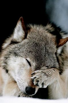 How adorable is this Wolf. am in love if I only were a wolf too then life would be perfect. just need to keep safe from these humans. Beautiful Creatures, Animals Beautiful, Cute Animals, Wild Animals, Baby Animals, Wolf Spirit, My Spirit Animal, Wolf Pictures, Animal Pictures