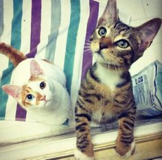 Richard the odd eye cat and Toshi - aren't they cute?
