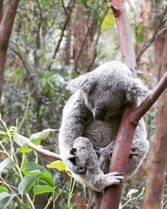 #koala #australia #goldcoast #currumbin #beach #currumbinwildlifesanctuary…