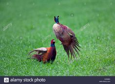 Two Common Pheasants / Ring-necked Pheasant (phasianus Colchicus Stock Photo, Royalty Free Image: 34711141 - Alamy