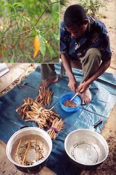 Scraping Iboga root bark for Bwiti tribe ritual