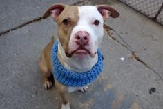 SUPER URGENT 11/12/16 REX aka RAYER – A1094529 **RETURNED STRAY 11/12/16 – SAFER – EXPERIENCED HOME** NEUTERED MALE, TAN / WHITE, AM PIT BULL TER / BOXER, 1 yr STRAY – ONHOLDHERE, HOLD FOR ID Reason STRAY Intake condition UNSPECIFIE Intake Date 11/12/2016, From NY 10457, DueOut Date 11/19/2016,
