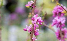 Cercis chinensis 'Avondale' - 10 best spring flowering shrubs in pictures Garden Shrubs, Flowering Shrubs, Lush Garden, Garden Plants, Judas Tree, April Wedding, Planting Flowers, Spring, Pictures