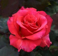 Beautiful Rose Flowers, Romantic Flowers, Hybrid Tea Roses, Colorful Roses, Morning Flowers, Flower Backgrounds, Natural World, Flower Art, Pink Roses