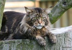 maine coon cat pictures | Big Maine Coon Cats | Funny Cat Wallpapers, Pictures, Images and ...