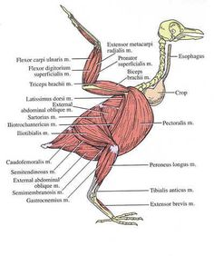 Muscular diagram of a pigeon to help identify avian anatomy.  The esophagus and crop, however, are not part of the muscles.  They are the digestive system.