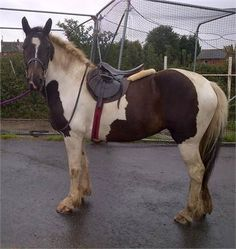 Loveable piebald cob 15h - Loveable piebald cob 15h http://www.equineclassifieds.co.uk/Horse/loveable-piebald-cob-15h-listing-983.aspx#.U_7scqMTCZY