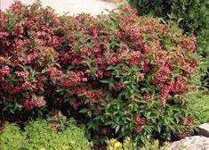 """Képtalálat a következőre: """"bristol ruby rózsalonc"""" Bristol, Plants, Plant, Planets"""