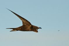 Gotcha! Common swift (Apus apus) catches insect   by PeterQQ2009
