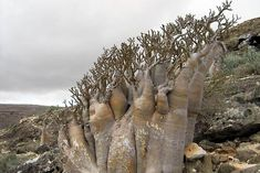 the Desert Rose (adenium obesium) which looks like nothing so much as a blooming elephant leg