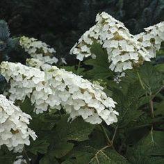 Hydrangea quercifolia 'Snowflake' | Fine Gardening