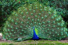 Peacock  is the very beautiful bird.and it is the national bird itimes.com