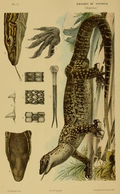 Decade - Natural history of Victoria. Prodromus of the zoology of Victoria; or, Figures and descriptions of the living species of all classes of the Victorian indigenous animals. Science Illustration, Nature Illustration, Botanical Illustration, Illustration Botanique, In Natura, Vintage Drawing, Nature Journal, Botanical Drawings, Reptiles And Amphibians