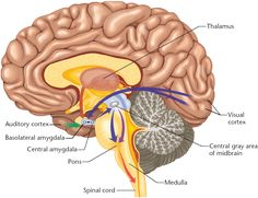 AMYGDALA  the emotional part of the brain  overrides the thinking part of the brain – the neocortex – in response to a perceived threat.