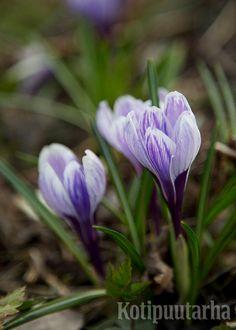 Kevätsahrami (Crocus vernus) kukkii tavallisesti huhtikuussa. Jos haluat nauttia näistä kevään kukkijoista, istuta sipulit maahan syys–lokakuussa.  Kuva: Hanna Marttinen