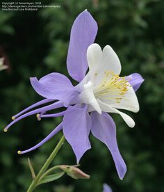 View picture of Colorado Blue Columbine, Rocky Mountain Columbine (Aquilegia caerulea) at Dave's Garden.  All pictures are contributed by our community.