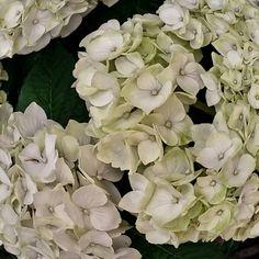 My other favourite flower: #hydrangeas.