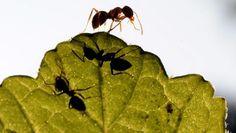Ameisen auf einem Blatt (Bild: dpa Picture-Alliance)