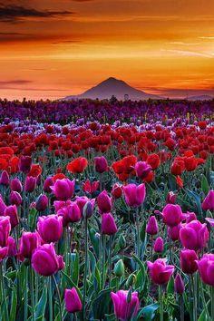 (圖) 日落鬱金香,伍德,奧勒岡 Tulip Sunset, Woo...