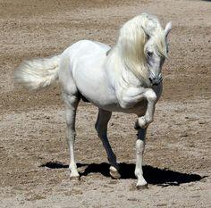 Extraordinary Lipizanne Stallion~