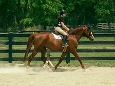 """Monogram, """"Graham"""", is a 7 year old Oldenburg gelding by Silvio.  He has 10  movement, and catches every judges eye.  Standing right at 17hh he is tall enough for a taller rider, but not so tall he is intimidating.  Good lead change, and good work ethic.  Not spooky, light in your hands, and a push ride.  Has been schooled by children as young as 11, but as he is still young, and has green moments, is not recommended for a child who is not working with a trainer.  Will easily step up to the…"""