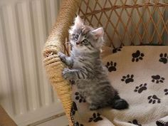 Top 15 most cutest cat breeds Siamese Cats Persian cats Maine coon &n… I Love Cats, Crazy Cats, Cute Cats, Funny Cats, Chat Maine Coon, Maine Coon Kittens, Baby Animals, Funny Animals, Cute Animals