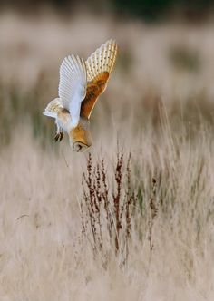 "birds-and-baking: "" fairy-wren: ""  daily-owls: ""  By Paul C Summers "" barn owl ""…"