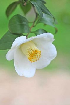 It is better to live in a corner of the housetop than in a house shared with a quarrelsome wife. [Proverbs 21:9] (Camellia)