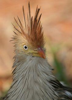 photo: Guira Cuckoo (Guira guira) ~ Brazil by Flávio Cruvinel Brandão~~  What a cutie!