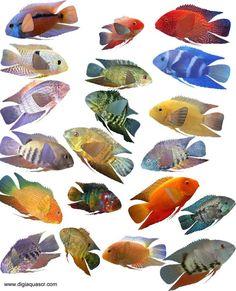 Severum Fish Species (gold severum, green severum, black severum  - Different types of fishes in aquarium