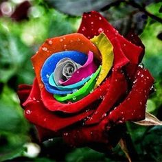 HOT 500 Pcs Rare Rainbow Rose Flower Seeds Multi-color Plant Home Garden ILOE