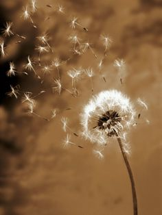 in the wind… Dandelion seed blowing away by Terry Why on Getty Images