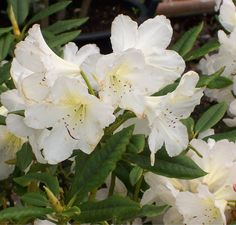 Buy Rhododendron Silver Sixpence (Yakushimanum Rhododendron) online from Jacksons Nurseries