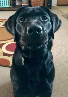So cute #LabradorCute