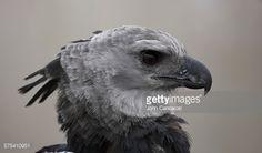 Stock Photo : Portrait of a captive threatened, harpy eagle, Harpia harpyja.