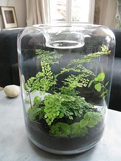 Fern terrarium. Looks like Maidenhair Ferns.