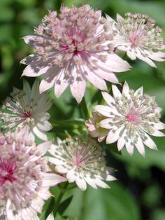Plant Astrantia near a patio or walkway where you can marvel at the intricate detail of this unique flower. Stunning detail on each pincushi...