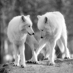 Artic White Wolves--Crossed Paws, Crossed Hearts