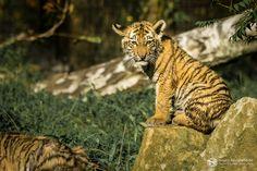 Makar und Arila - Neues von den Tigerbabys im Zoo Duisburg