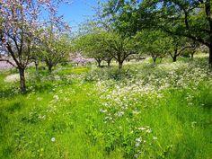 Apple Orchard, Glastonbury Abbey. Somerset. England.