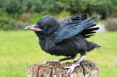 Young Raven. Fledgling with blue eyes.