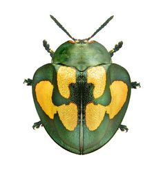 Clothing xanthospila: Chrysomelidae: Cassidini - Anita Smith Home Leaf Beetle, Beetle Bug, Cool Insects, Bugs And Insects, Pictures Of Insects, Cool Bugs, Beautiful Bugs, Insect Art, Hans Christian