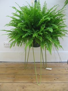 Steel plant stand - colour why can't I get my fern to look this healthy?