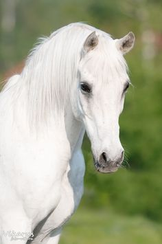 Beautiful White Arabian - Horse photography - from equestrian.ru