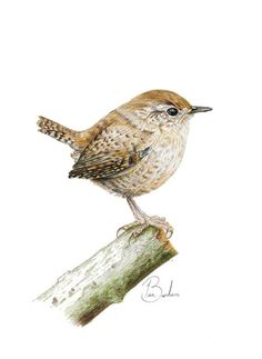 This Wren print is taken from an original colour pencil picture drawn in A quality giclee print on acid free fine art paper. Watercolor Bird, Watercolor Artwork, Watercolor Portraits, Watercolor Landscape, Color Pencil Picture, Bird Embroidery, Bird Artwork, Bird Illustration, Bird Drawings