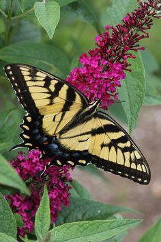 Tiger Swallowtail Butterfly on Butterfly bush